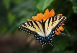 Swallowtail on...?