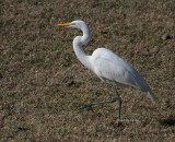 2-7-09 0149 Great Egret.jpg