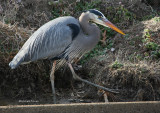2-14-09 0376 Great Blue Heron.jpg