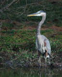 10-4-09 Great Blue Heron 4454.jpg