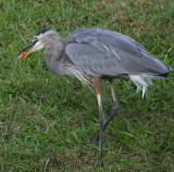 10-4-09 Heron with goldfish 4507.jpg