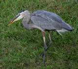 10-4-09 Heron with goldfish 4523.jpg