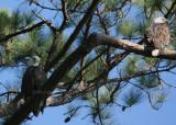 10-09-09 eagle pair 4793.jpg