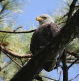 10-9-09 eagle 4962.jpg