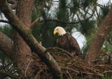 10-10-09 eagle male 5163.jpg