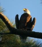 10-11-09 eagle male 5645.jpg