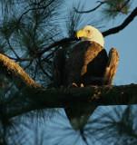 10-11-09 eagle male 5684.jpg