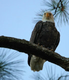 10-11-09 female eagle 5791.jpg