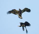 6-17-10-2783-eaglets.jpg