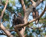 6-19-10-3482-3-eaglets.jpg