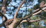 6-19-2010-3207-3-eaglets.jpg