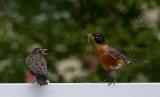 7-25-10-5188-baby-robin--adult.jpg