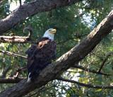 8-7-2010-7104-female-eagle.jpg
