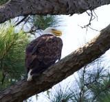 8-7-2010-7124-female-eagle.jpg
