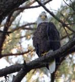 9-4-10-1437-eagle-male.jpg