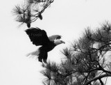 9-26-10 5376 eagle male.jpg