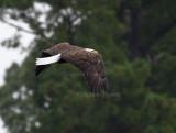 9-26-10 5459 eagle male.jpg