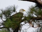 9-26-10 5343 eagle female .jpg