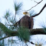10-2-2010 6255 female eagle.jpg