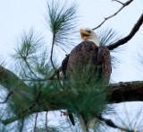 10-2-2010 6301 eagle female.jpg