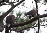 10-6-10 6689 eagle pair.jpg