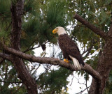 10-10-10  8799 evening eagle.jpg