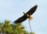 10-25-10 0739 stick for nest.jpg