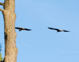 10-30-10 1491 eagle pair with sticks.jpg