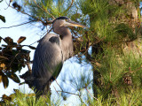 11-28-10 7291 great blue heron.jpg