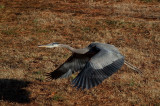 12-19-10 8812 great blue heron.jpg