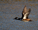 12-19-10 8836 hooded merganser .jpg