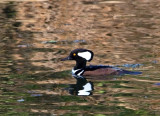 12-19-10 8787 hooded merganser.jpg