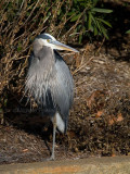 12-19-108680 great blue heron.jpg