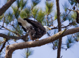 12-31-10 9902 male eagle.jpg