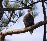 12-31-10 0010 male eagle.jpg