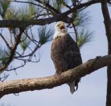 12-31-10 0013 male eagle.jpg