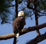 12-31-10 0120 eagle male.jpg