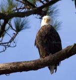 12-31-10 9939 male eagle.jpg