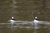 1-1-11 0295 buffleheads - my first.jpg
