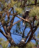 1-30-11 4551 female top male nest.jpg