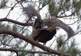 2-2-11 4866 eagles mating.jpg