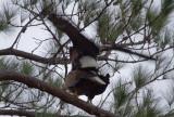 2-2-11 4856 eagles mating.jpg