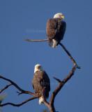 1-29-11 3568 female top eagle pair.jpg
