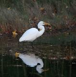 0175 Great Egret 11-23-05.jpg