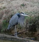 0174 heron at NBG 12-24-05.jpg