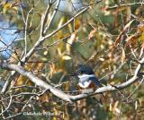 0178 f kingfisher NBG 12-27-05.jpg