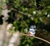 0118 f kingfisher 12-27-05.jpg