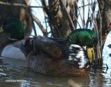 mallard-odd color 0189-NBG-1-28-0.jpg