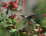 hummingbird 0121 8-6-06.jpg