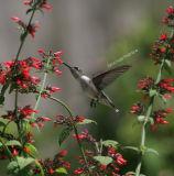 hummingbird 0129 8-6-06.jpg